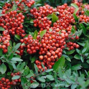 Pyracantha 'Red Column' / Hecken-Feuerdorn 'Red Column' - gut als Vogelnährgehölz und Vogelschutzhecke geeignet