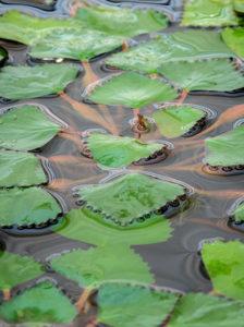 Trapa natans / Wassernuss - benötigt viele Nährstoffe