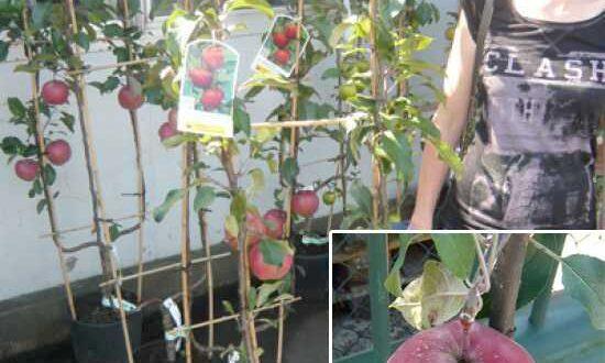 Malus 'Gloster' / Spalierobst 'Gloster' U-Form - als Befruchter für den Roten Boskoop-Apfel gut geeignet