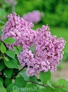 Syringa microphylla 'Superba' / Herbstflieder 'Superba' - sehr angenehm duftend und wird häufig in Dufthecken verwendet