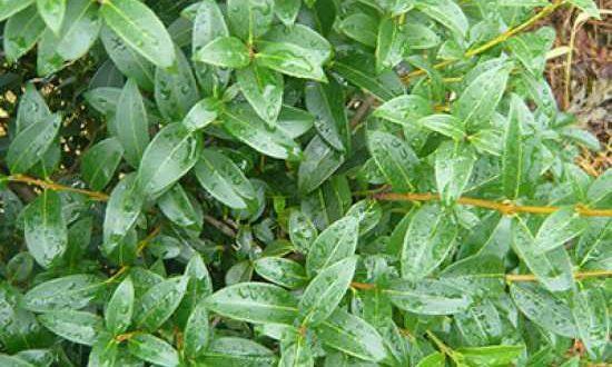 Osmanthus burkwoodii / Frühlings-Duftblüte - eine klassische Heckenpflanze, die gut für Dufthecken geeignet ist