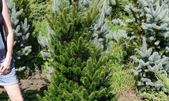 Abies alba 'Fastigiata' / Weiß-Tanne 'Fastigiata' - nach der Pflanzung wird die Energie in die Ausbildung von Wurzeln gesteckt