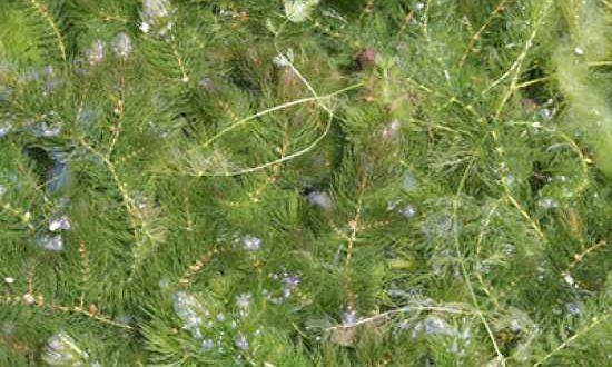Ceratophyllum demersum / Raues Hornkraut