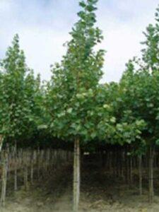 Populus canadensis 'Robusta' / Kanadische Holz-Pappel / Robusta-Pappel - verträgt auch nassere Standorte