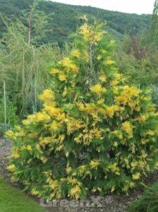 Calocedrus decurrens 'Aureovariegata' / Goldgelbe Kalifornische Flusszeder / goldgelbe Rauchzypresse