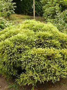 Cryptomeria japonica 'Globosa Nana' / Zwerg-Hahnenkamm-Sicheltanne - entwickelt einen sehr interessanten Wuchs
