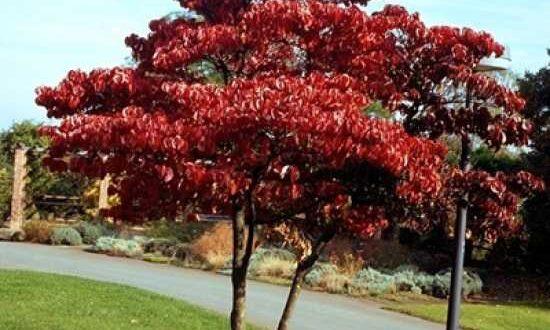 Cornus florida / Amerikanischer Blumen-Hartriegel - Tipps zum Rückschnitt und zur Bewässerung