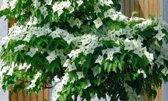 Cornus kousa var. chinensis / Chinesischer Blumen-Hartriegel - bildet wunderbare Blüten aus