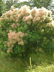 Cotinus coggygria 'Young Lady ®' / Perückenstrauch 'Young Lady'