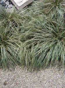 Carex morrowii 'Ice Dance' / Immergrüne Japansegge 'Ice Dance' - eine Wurzelsperre ist empfehlenswert
