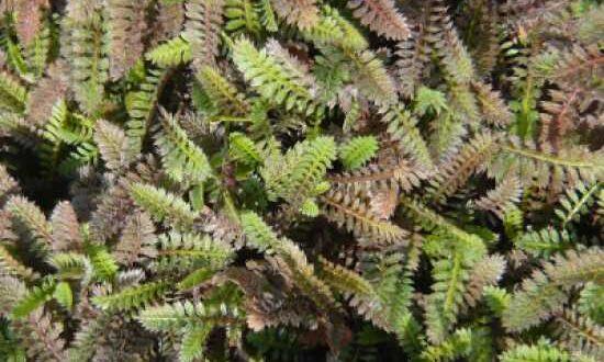 Leptinella potentillina / Feines Fiederpolster - bildet einen trittfesten Teppich