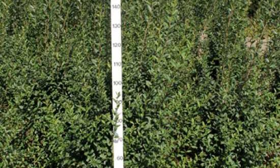 Dunkle Flecken auf Blättern vom Liguster können auf eine Pilzerkrankung hindeuten