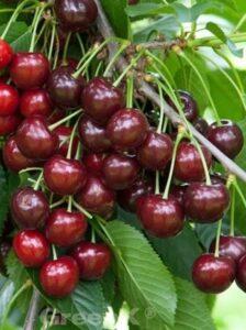 Süßkirschen - wie hier die Prunus avium 'Lapins' / Süßkirsche 'Lapins' - benötigen ausreichend Nährstoffe