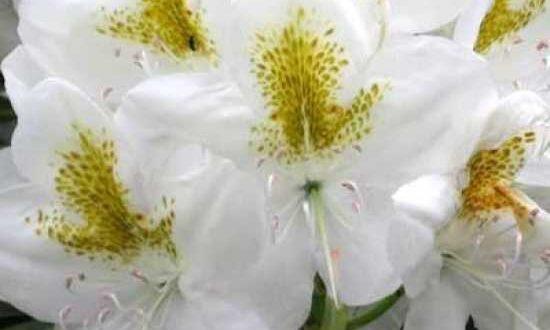 Spezielle Dünger für bestimmte Pflanzen - wie hier bspw. Rhododendron catawbiense 'Album' / Catawba-Rhododendron 'Album' - können sinnvoll sein