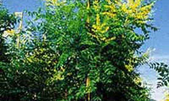 Koelreuteria paniculata / Blasenesche / Blasenbaum / Chinesischer Lackbaum