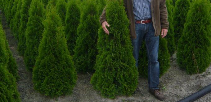 huja occidentalis 'Smaragd' / Lebensbaum 'Smaragd' - bilden eher flaches Wurzelwerk aus