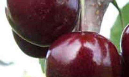 Prunus avium 'Regina' / Süßkirsche 'Regina' - bildet leckere Früchte aus