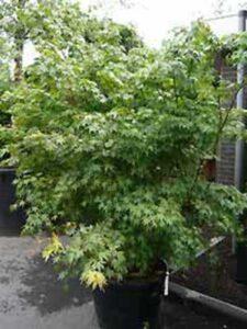 Acer palmatum / Fächer-Ahorn / Japanischer Ahorn - gut als Kübelpflanze für Hauseingang geeignet