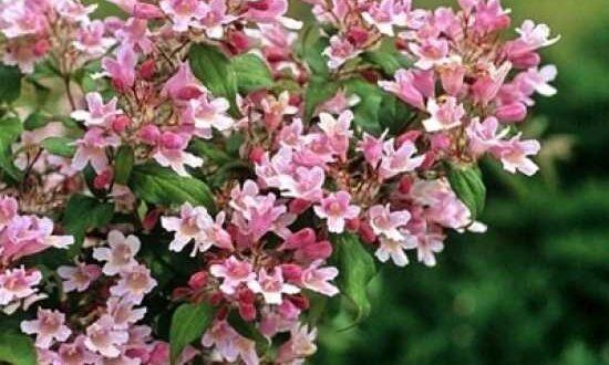 Kolkwitzia amabilis 'Pink Cloud' / Kolkwitzie 'Pink Cloud' / Perlmuttstrauch 'Pink Cloud'