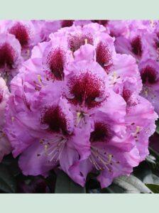 Rhododendron Hybride 'Pfauenauge ®' / Rhododendron 'Pfauenauge'