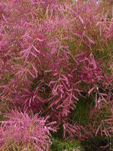 Tamarix ramosissima / Heide-TamariskeTamarix ramosissima / Heide-Tamariske