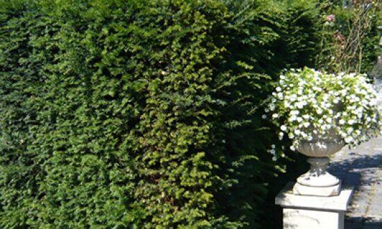 Taxus baccata / heimische Eibe