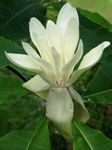 Magnolia tripetala / Magnolia umbrella / Schirm-Magnolia - mit wunderschöner, weißer Blüte