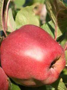Ein Pflanzloch für einen Apfelbaum - wie hier beim Malus domestica 'Gloster' / Apfel  'Gloster' - sollte immer ausreichend groß sein