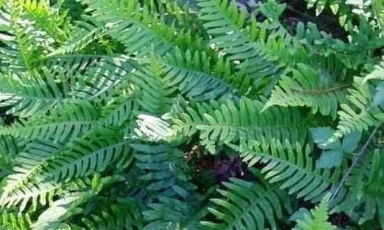 Polypodium vulgare / Gemeiner Tüpfelfarn - als Unterpflanzung für einen Rhododendron gut geeignet