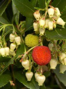Arbutus unedo / Westlicher Erdbeerbaum - die Früchte sind leicht süßlich und essbar