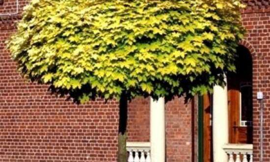 Acer platanoides 'Golden Globe' / Gold-Kugelahorn - treibt eher früh im Jahr aus