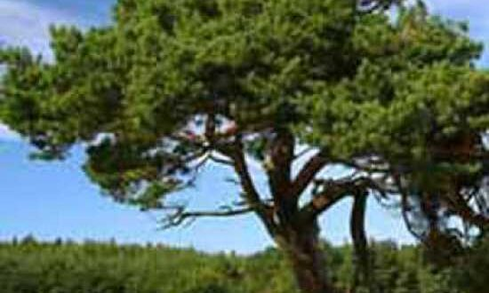 Pinus contorta / Küsten-Kiefer / Dreh-Kiefer - nicht nur für Standorte an der Küste gut geeignet