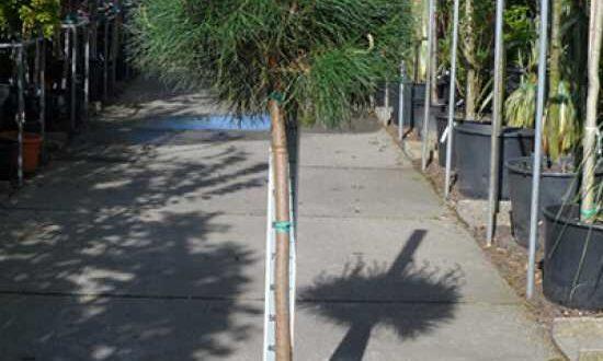 Pinus pinea / Italienische Stein-Kiefer / Mittelmeer-Kiefer / Schirmkiefer - auch als Kübelpflanze gut geeignet