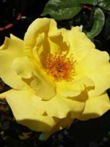 Rosa 'Goldstern ®' / Kletterrose 'Goldstern'