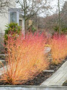 Cornus sanguinea 'Midwinter Fire' / Roter Hartriegel 'Midwinter Fire'