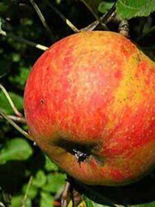 Malus domestica 'Roter Boskoop' / Apfel 'Roter Boskoop' - eine sehr beliebte und robuste Apfelsorte