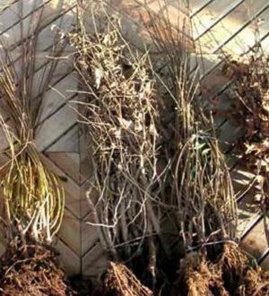 Heckenpflanzen als Wurzelware - jetzt verfügbar