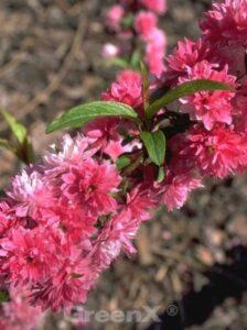 Gerade bei dem grauen und trüben Wetter macht es doch gleich doppelt Freude, ein paar Veränderungen im Garten für das Frühjahr zu planen. Mit unserer heutigen Pflanze der Woche, der Prunus glandulosa 'Rosea Plena' / Rosa Zwergmandel sorgt man bereits ab März für tollen Farben im Garten. Der Frühjahrsblüher begeistert dann mit seinen zahlreichen, rosafarbenen, dicht gefüllten Blüten. Als kleiner Strauch kann die Prunus glandulosa 'Rosea Plena' / Rosa Zwergmandel auch in Gärten mit begrenztem Platzangebot gut gepflanzt werden. Schnittfestigkeit und gute Frosthärte komplettieren die positiven Eigenschaften der Prunus glandulosa 'Rosea Plena' / Rosa Zwergmandel. Und nicht zuletzt sind die Früchte noch essbar, so dass der Gaumen ebenfalls verwöhnt wird. Als Solitär oder in Gruppen – bspw. auch mit dem Pendant in Weiß – die Prunus glandulosa 'Rosea Plena' / Rosa Zwergmandel sorgt nach einem Winter wieder schnell für Farbe im Garten!