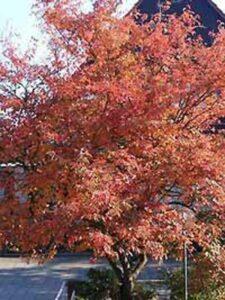 Amelanchier lamarckii / Kupfer-Felsenbirne mit toller Herbstfärbung