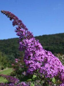 Buddleja davidii 'Reve de Papillon'® / Sommerflieder 'Reve de Papillon'®