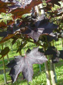 Das Laub des Acer platanoides 'Crimson King' / Blut-Ahorn 'Crimson King' bleibt bis zum Herbst purpurrot gefärbt