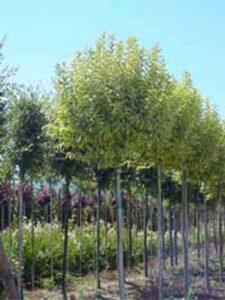 Ligustrum lucidum 'Excelsum Superbum' / Glanz-Liguster 'Excelsum Superbum'