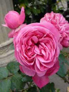 Rosa 'Leonardo da Vinci ®' / Beetrose 'Leonardo da Vinci'