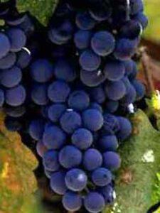 Vitis 'Boskoop Glory' / Weintraube 'Boskoop Glory' - gut als Kletterpflanze für einen Gartenzaun geeignet