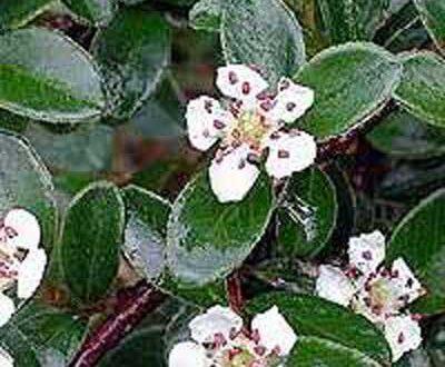 Cotoneaster dammeri 'Coral Beauty' / Teppich-Zwergmispel 'Coral Beauty' - gut für eine Hangbepflanzung geeignet