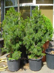 Pinus parviflora / Mädchen-Kiefer