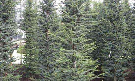 Cedrus libani 'Fastigiata' / Säulen-Libanon-Zeder - auf ausreichend Bewässerung im Winter achten