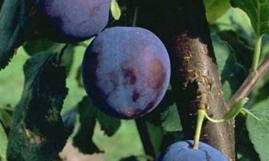 Prunus domestica 'Bühler Frühzwetschge' / Pflaume 'Bühler Frühzwetschge' - gut zum Backen geeignet