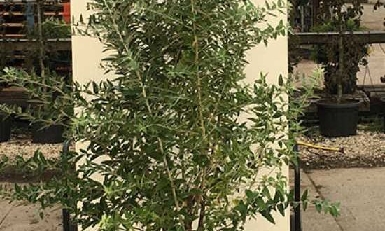 Elaeagnus angustifolia / Schmalblättrige Ölweide / Russische Olive im C20-Container - auch als Kübelpflanze gut geeignet