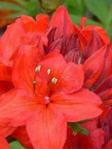 Azalea luteum 'Parkfeuer' (Knap-Hill) / Laubabwerfende Azalee 'Parkfeuer' - eine Sorte mit tollem Duft